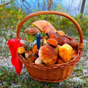 Северная Карелия: как правильно собирать грибы
